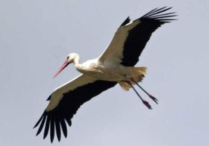 photo of flying stork